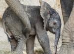 Kiselefánt született a bécsi állatkertben - Fotók
