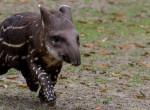 Szupercuki tapírbébi született a Debreceni Állatkertben - Itt vannak az első fotók