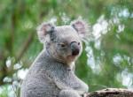 Ennél meghatóbbat ma nem látsz: Így menekült meg ez a koala a bozóttűzből