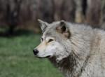 Szenzációs felfedezés: Megtalálhatták a kutya és a farkas közös ősét
