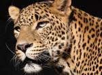 Elfogta az iszonyat a férfit, amikor meglátta, hogy egy leopárd ugrik be az udvarára
