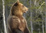 Ennél a táncolva vakarózó medvénél ma nem látsz viccesebbet - Videó