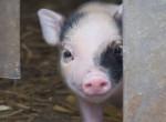 Nagyon édes törpemalacok születtek a Debreceni Állatkertben - Fotók