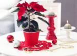 5 különleges növény karácsonyra, ha már nagyon unod a mikulásvirágot