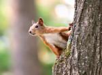 Erjedt körtét lopott a mókus, részegen kapták lencsevégre - videó