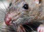 Váratlan fordulat: elképesztő dolgot állítanak a kutatók a pestisről