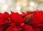 Nem a neve miatt van: Ezért a mikulásvirág a hivatalos karácsonyi növény