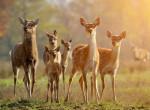 Sorra pusztulnak a szarvasok az állatkertben a felelőtlen látogatók miatt
