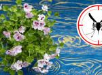 Az 5 legjobb virág szúnyog ellen a balkonodra - Megmentenek a vérszívóktól