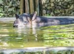 Szupercuki! Tapírbébi született a Fővárosi Állatkertben - Videó