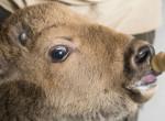 Mesterségesen nevelik fel a Nyíregyházi Állatpark sérült üszőjét