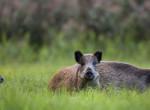 Afrikai sertéspestissel fertőzött vaddisznókat talált a Nébih Magyarországon