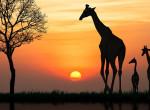 Rájössz, melyik zsiráfnak nincs párja a képen? Ha igen, okosabb vagy, mint az emberek 80%-a