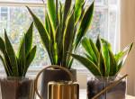 Anyósnyelv - minden, amit az egyik legstrapabíróbb növényről tudni kell