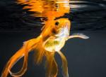 Megtalálod az aranyhalat a képen? 10 emberből 8-nak sosem sikerül