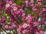 Virágba borult Budapest legszebb sétánya – Fotók