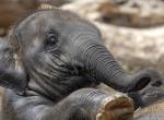 Lezárult a szavazás - ezt a nevet kapta a fővárosi állatkert új kiselefántja