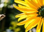 Ma van a magyar méhek napja, de a méhecskék idén alig hoznak majd pálinkát
