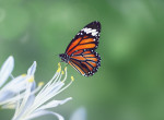Megtalálod a pillangót az ábrán? 140-es IQ alatt senkinek sem jön össze