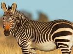 Megtalálod a zebrát a képen? 150-es IQ alatt még senkinek sem sikerült